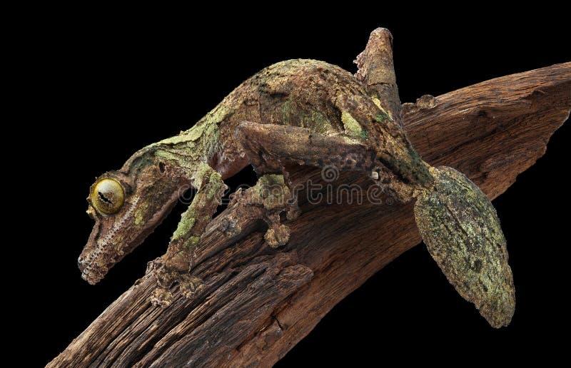 Gecko hoja-atado cubierto de musgo en vid imágenes de archivo libres de regalías