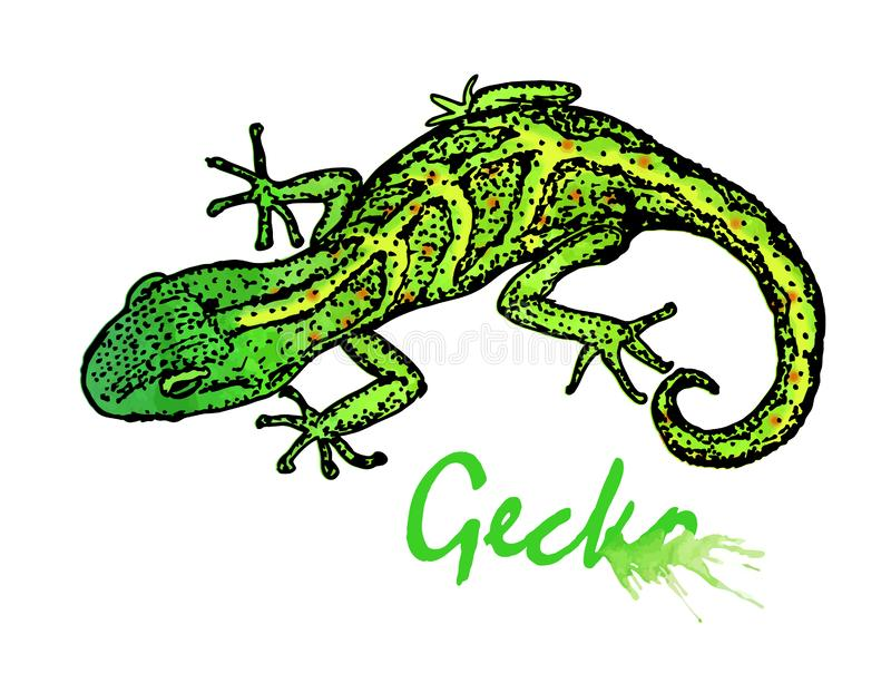 gecko Illustrazione di vettore isolata su priorit? bassa bianca fotografia stock