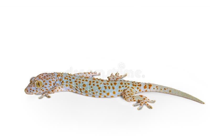 Gecko isolato su bianco fotografia stock