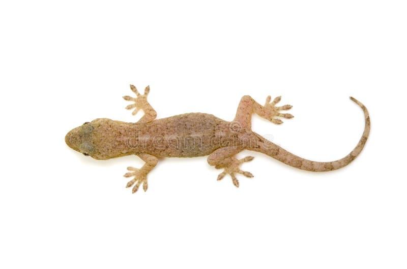 Gecko japonês imagens de stock royalty free