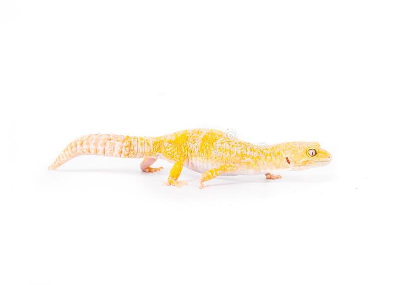 Gecko jaune photographie stock libre de droits