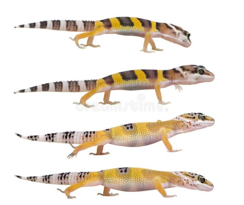 Gecko joven del leopardo - macularius de Eublepharis fotos de archivo