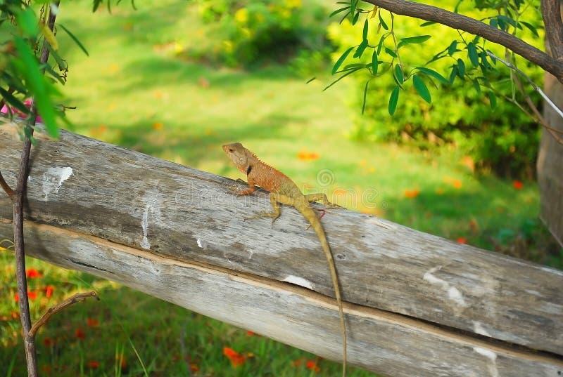 Gecko leguan, skink, ödlaklättring på torrt trä i tropiska gummin royaltyfri fotografi