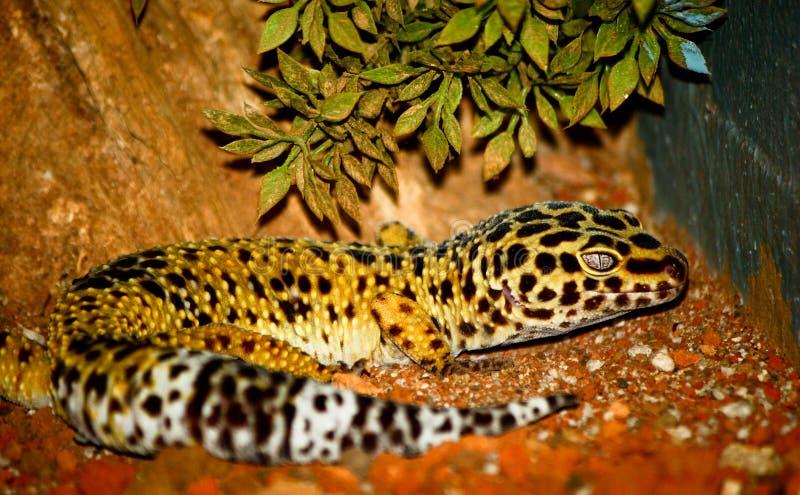 Gecko leopard stock photography