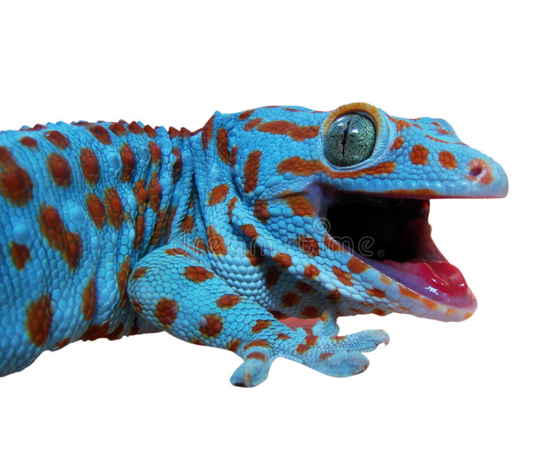Gecko lizard royalty free stock image