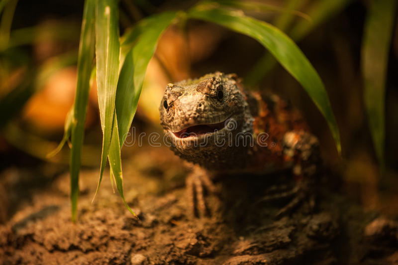 Gecko lizard smiling into camera royalty free stock image