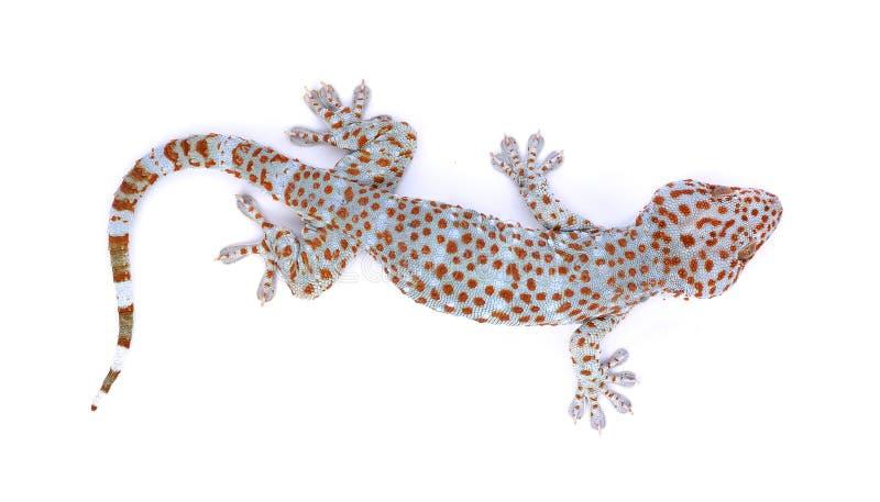 Gecko lokalisiert auf weißem Hintergrund stockfotos