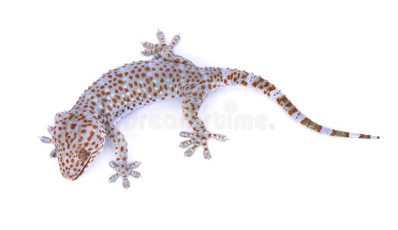 Gecko lokalisiert auf weißem Hintergrund stockbilder