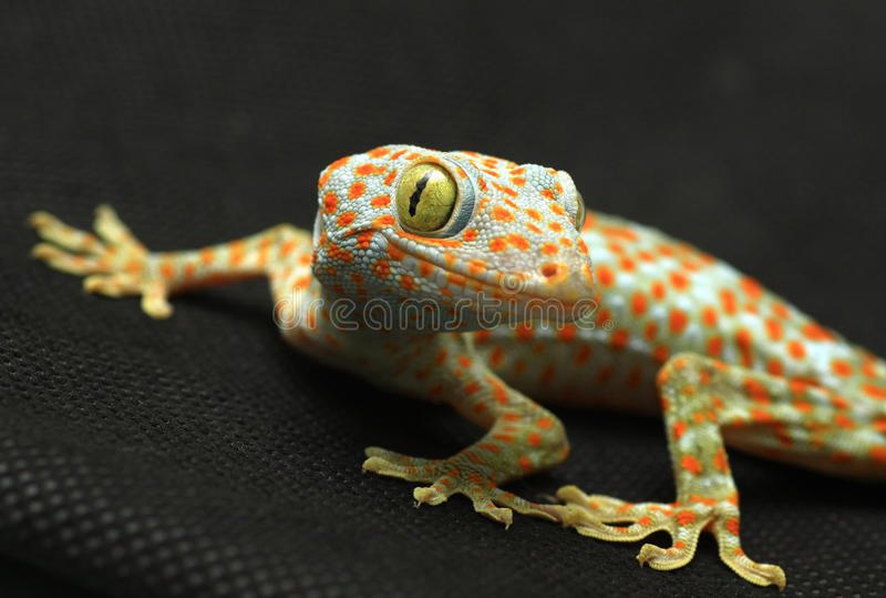 Gecko Looking Camera Stock Photo