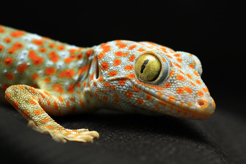 Gecko looking camera. On black background stock photo