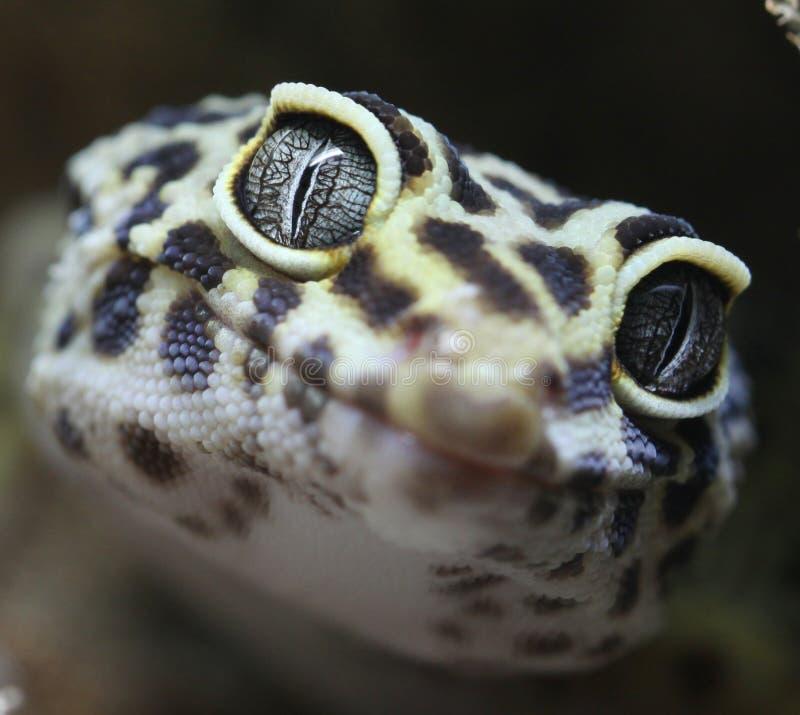 Gecko macro stock photos