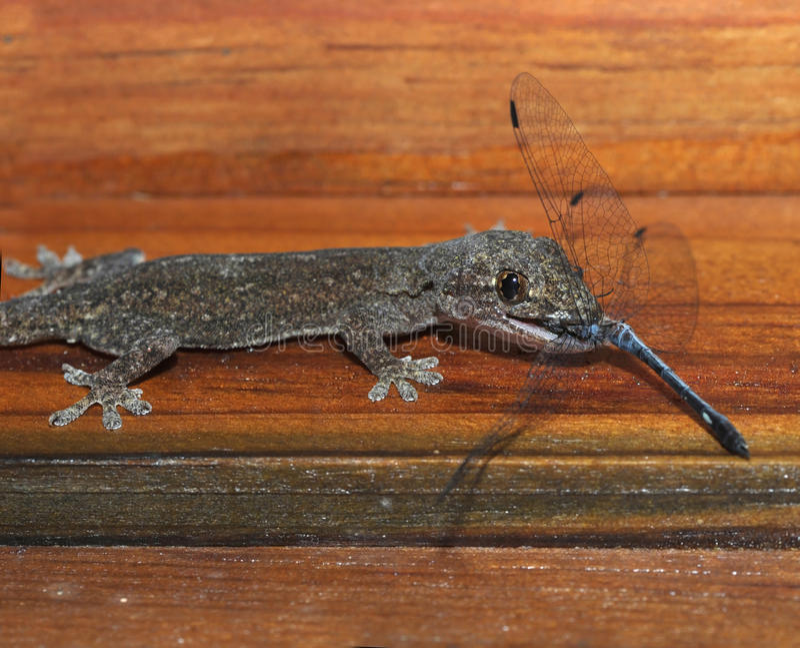 Gecko mangeant la libellule, Honduras, lézard photos libres de droits