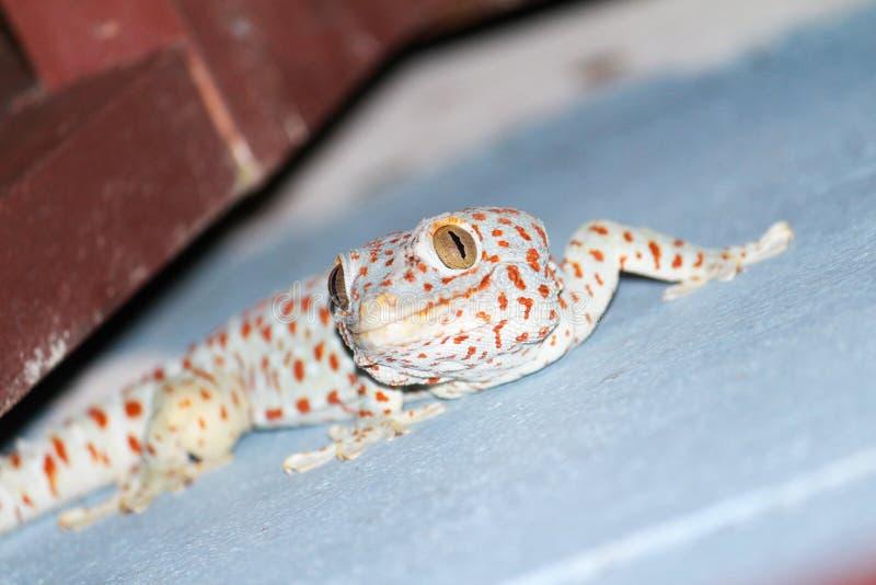 Gecko med blå och röd färg arkivbild