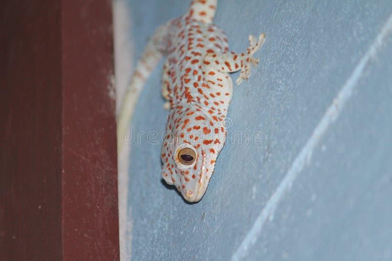 Gecko med blå och röd färg royaltyfri bild