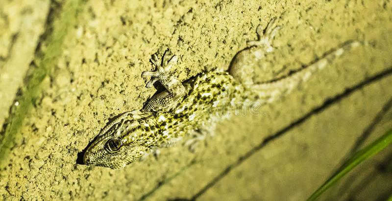 A gecko in my garden. I`ve found this gecko in my garden house a night of spring royalty free stock image