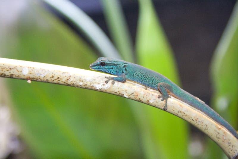 Gecko nain de turquoise (williamsi de Lygodactylus) photo stock