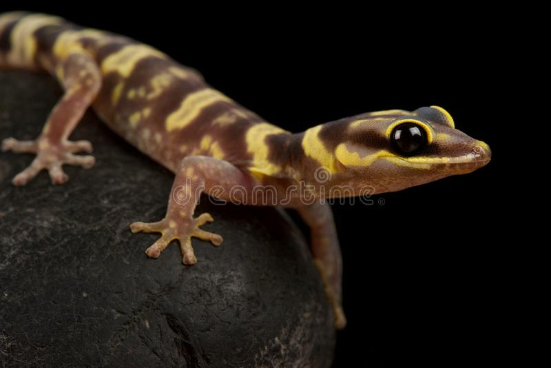 Gecko Oedura fimbria photo stock