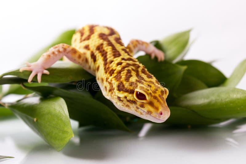 Gecko orange de léopard photo libre de droits