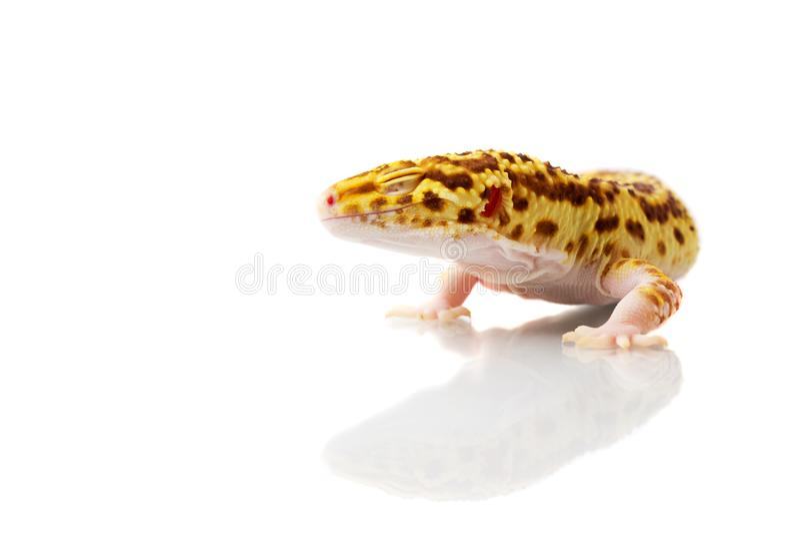 Gecko orange de léopard photographie stock