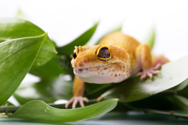 Gecko orange de léopard images libres de droits