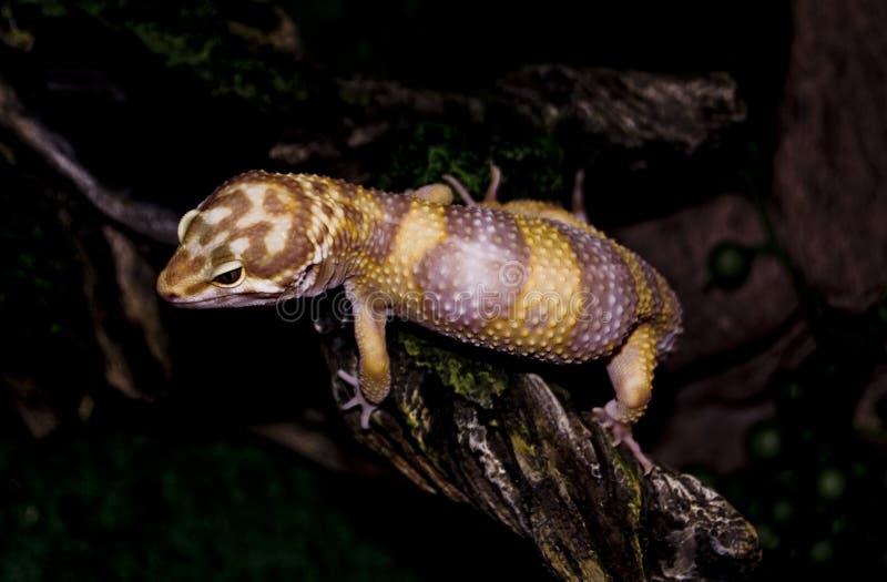 gecko Otto στοκ εικόνες