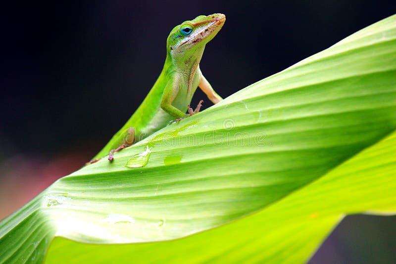 Gecko på bladet royaltyfri fotografi