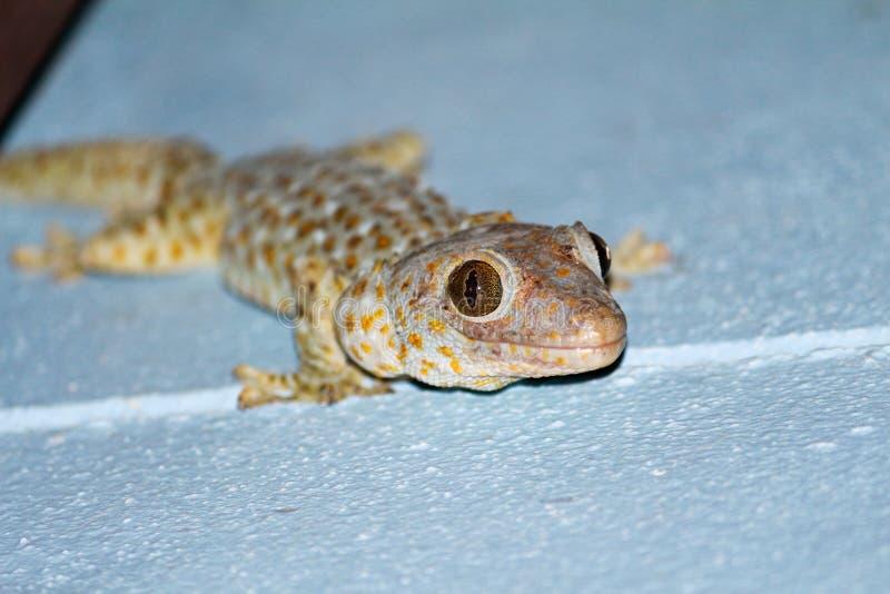 Gecko på natten royaltyfria foton