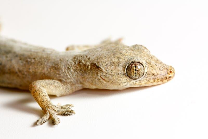 Gecko p? vit bakgrund royaltyfria foton