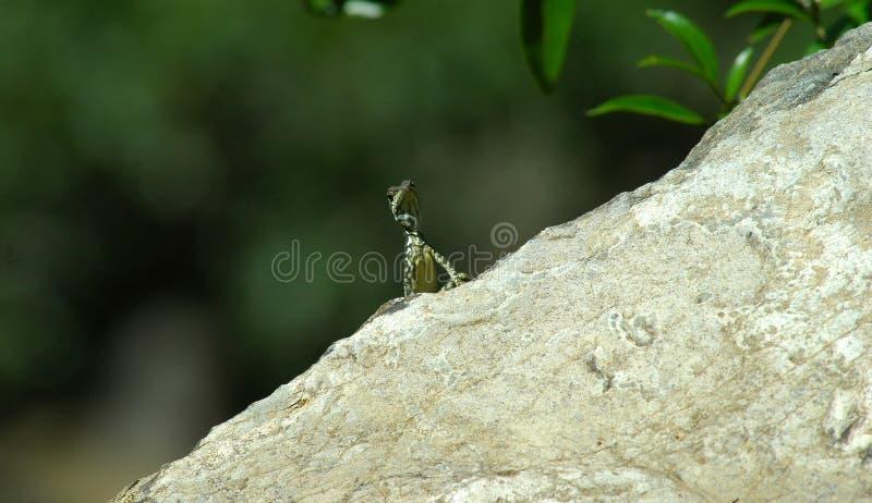 Gecko pequeno imagem de stock royalty free