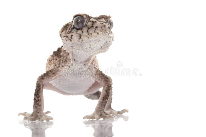 Gecko Perilla-atado áspero espinoso imagenes de archivo