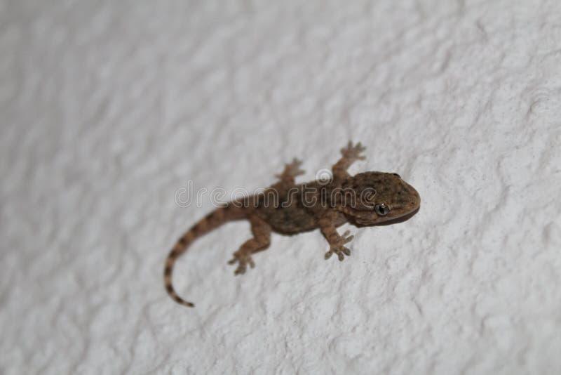 Gecko portugais photographie stock libre de droits