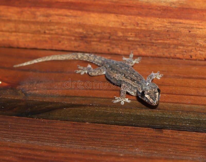 Gecko que come la libélula, Honduras, lagarto imagenes de archivo