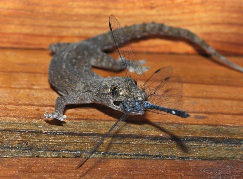 Gecko que come a libélula, honduras, lagarto foto de stock royalty free