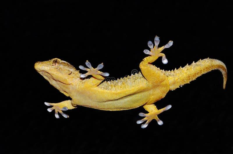 Gecko que muestra sus piernas pegajosas fotografía de archivo libre de regalías