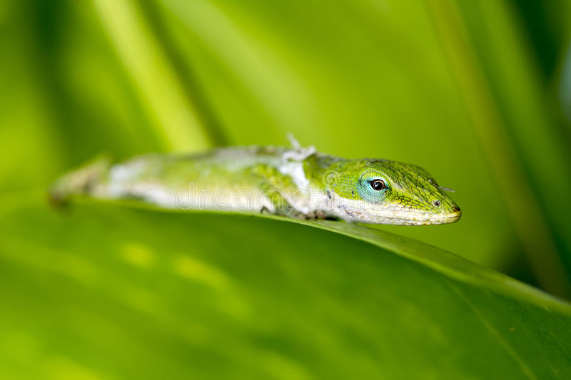Gecko in rainforest royalty free stock photo