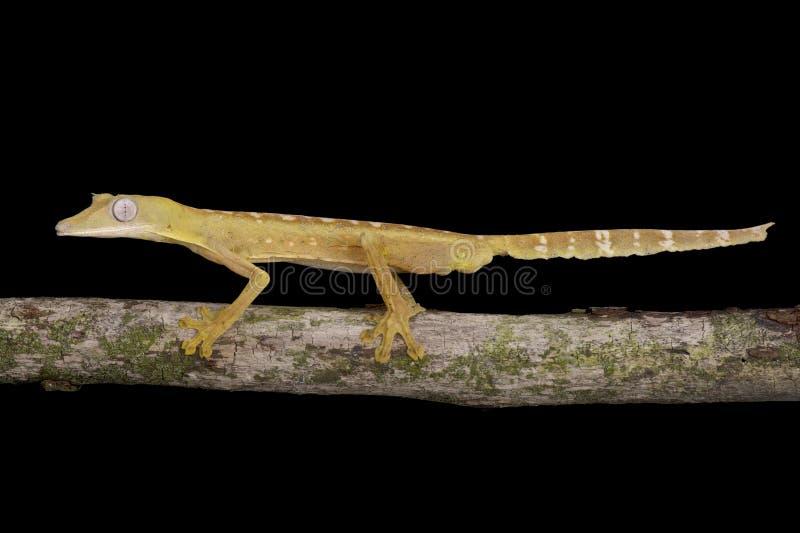 Gecko rayé de Plat-queue (lineatus d'Uroplatus) photo libre de droits