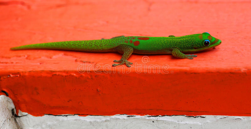 Gecko on Red. Bright green gecko (Phelsuma laticauda) resting on red and white cracked paint stock photo
