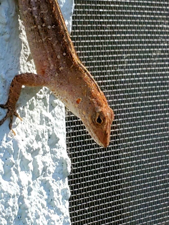 Gecko refroidissant en Floride images stock