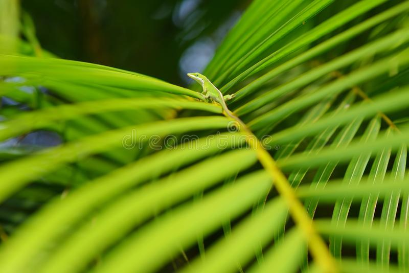 Gecko relaxing on green tropical leaf. Lush tropical vegetation of the islands of Hawaii. USA royalty free stock photo