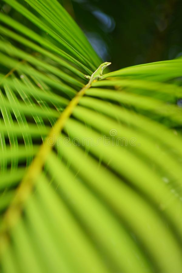 Gecko relaxing on green tropical leaf. Lush tropical vegetation of the islands of Hawaii. USA royalty free stock photos