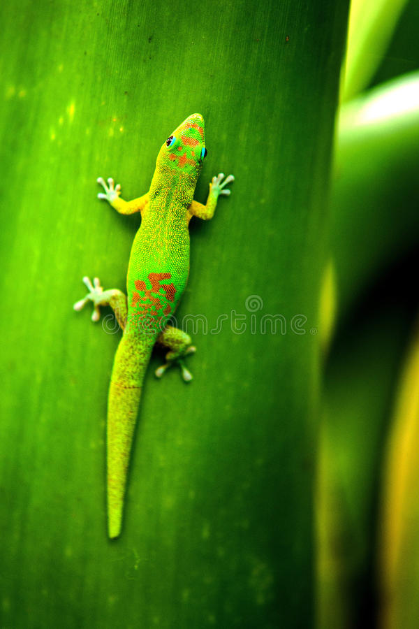 Gecko Reunion Island. Little gecko named Margouillat. Reunion Island royalty free stock photos