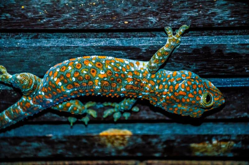 Gecko sauvage de Tokay sur le plafond la nuit, Koh Kood thailand photographie stock libre de droits