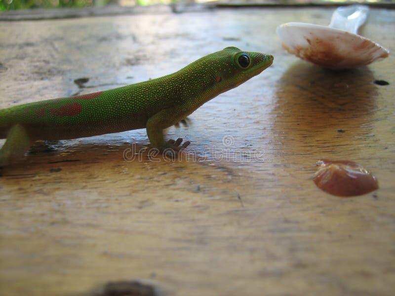 Gecko som äter acai royaltyfri foto