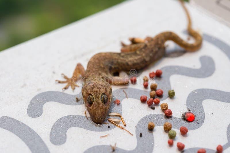 Gecko som fångas av den pappers- klistermärken royaltyfria bilder