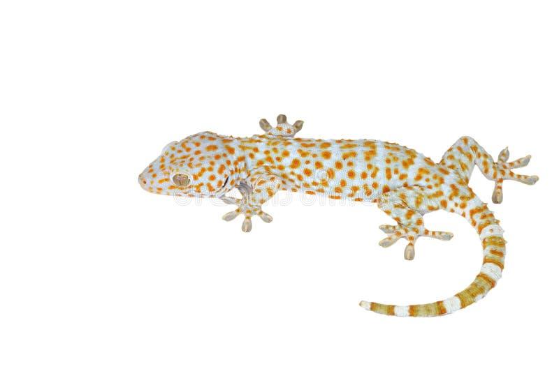 Gecko som isoleras på vit bakgrund arkivfoto