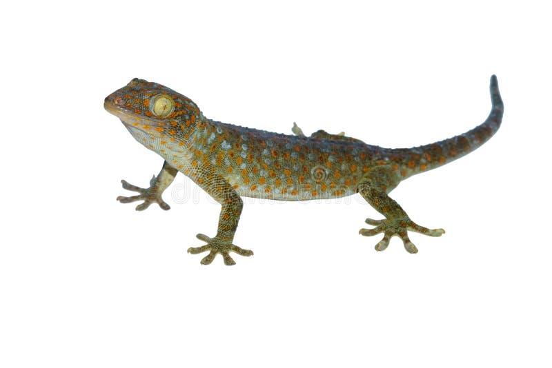 Gecko som kallar geckon isolerad på vit bakgrund royaltyfria bilder