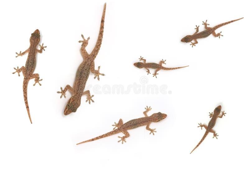 Gecko su bianco 2 fotografia stock libera da diritti