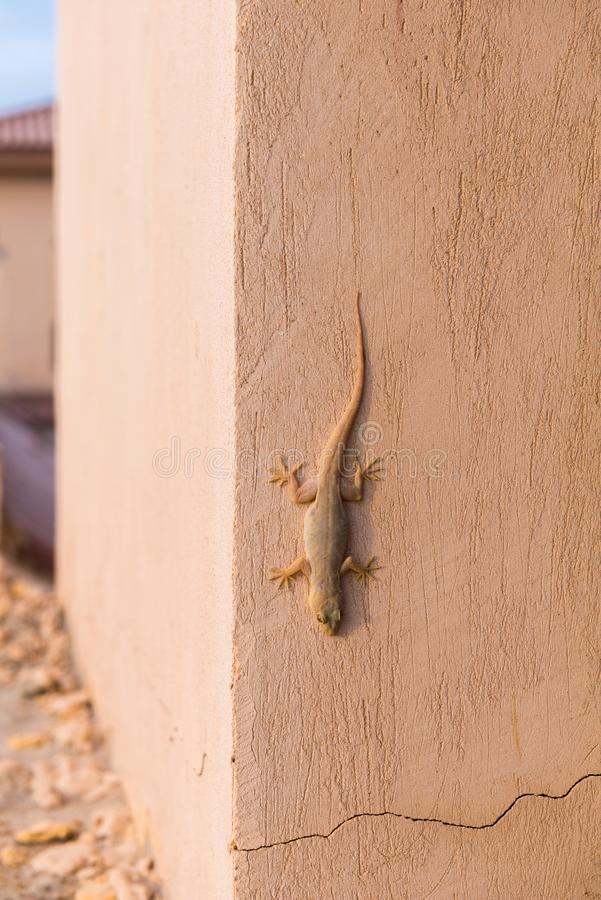 Gecko sulla parete fotografie stock libere da diritti