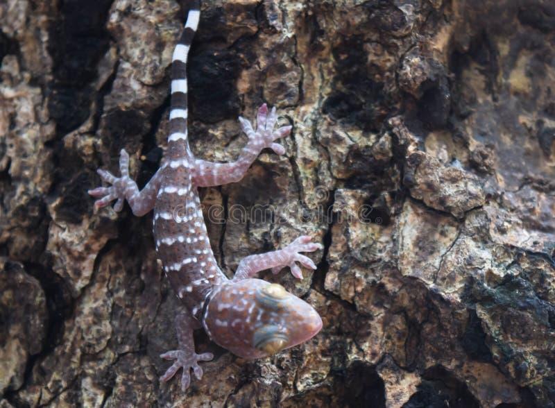 Gecko sur l'arbre photos libres de droits