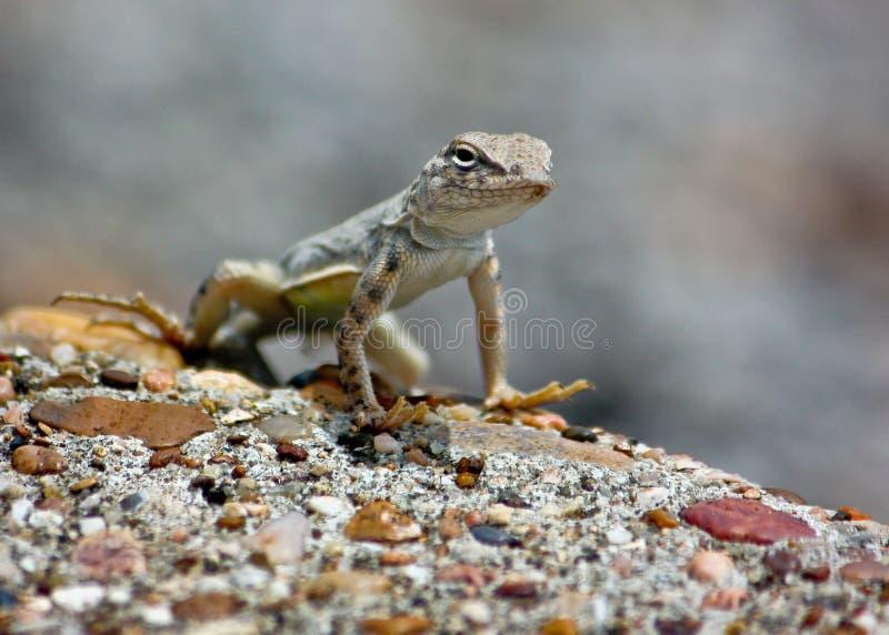 Gecko sur la montre photo libre de droits